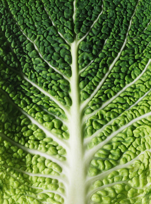 lettuce leaf close-up